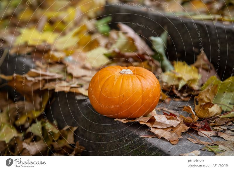 Pumpkin in autumn Food Vegetable Autumn Garden Thanksgiving Hallowe'en Park Lie To dry up Small Natural Round Brown Yellow Orange Moody Environment Pumpkin time