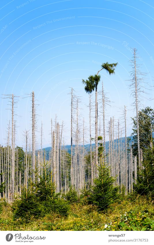 forest dieback Environment Nature Plant Cloudless sky Autumn Beautiful weather Tree Spruce Spruce forest Forest Mountain Harz Wood Threat Dark Creepy Blue Brown