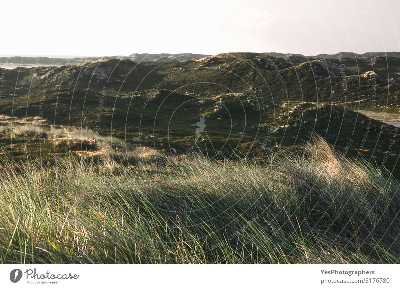 Dune landscape with moss and grass in the morning on Sylt island Vacation & Travel Summer Summer vacation Nature Landscape Climate change Beautiful weather Moss