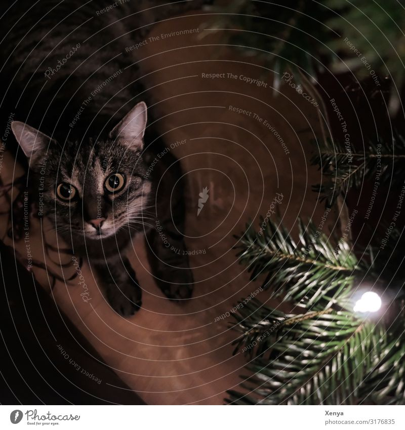 Cat Christmas & Advent Green Animal Brown Observe Pet Christmas tree Safety (feeling of) Animal face Paw