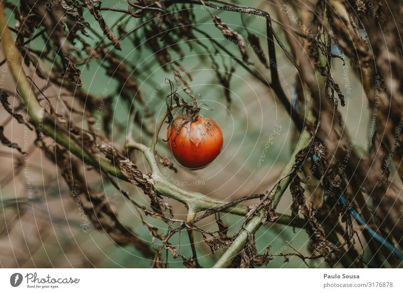 Tomato isolated Food Vegetable Fruit Plant Autumn Winter Simple Fresh Juicy Red Growth Healthy Healthy Eating Colour photo Exterior shot Deserted Isolated Image