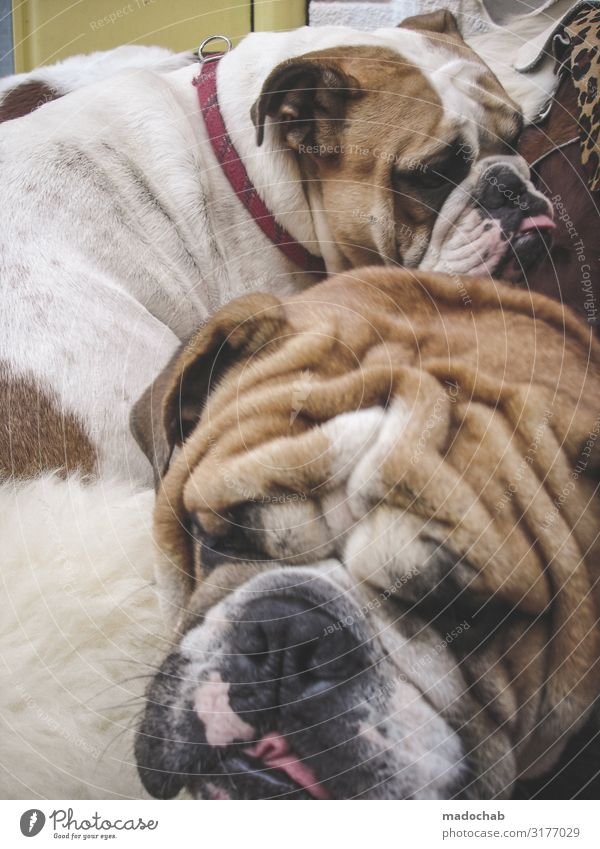 Dog Animal Pair of animals Sit Group of animals Fitness Sleep Pet Wrinkles Overweight Fatigue Comfortable Lifeless Gluttony Indifferent Voracious