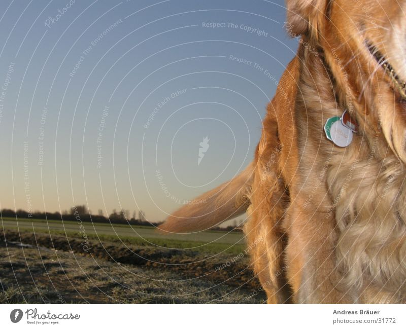 the runaway Dog Golden Retriever Field Pelt Tails Dog tag Movement Blue sky To go for a walk Walk the dog
