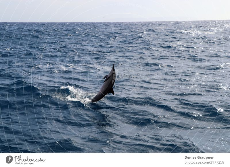 Spinner dolphin in Hawaii jumps out of the sea Summer Environment Nature Landscape Water Climate Beautiful weather Wild animal 1 Animal Vacation & Travel Jump