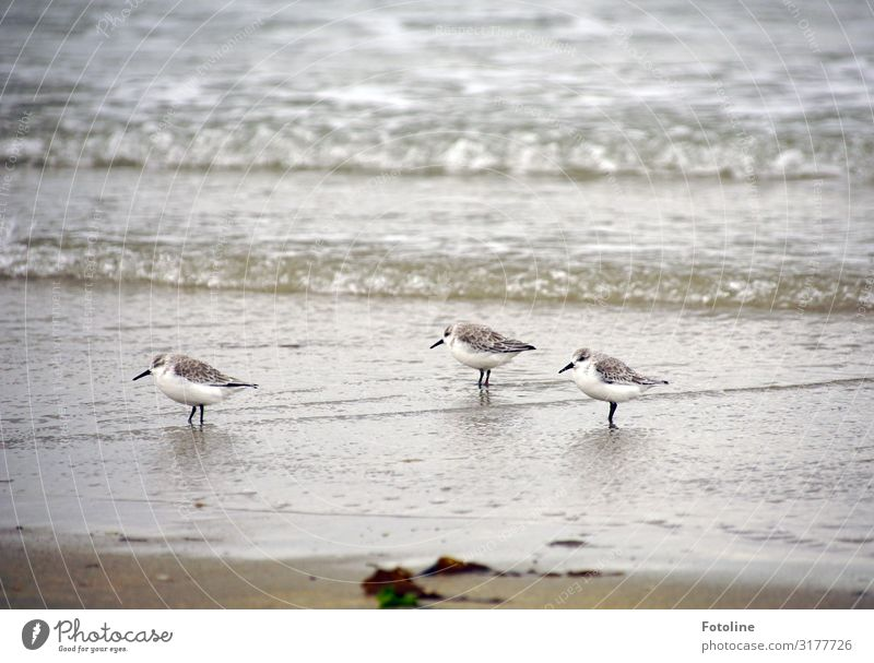 Alpine Sandpiper Environment Nature Animal Elements Earth Water Waves Coast Beach North Sea Ocean Island Free Bright Small Maritime Wet Natural Speed Brown Gray