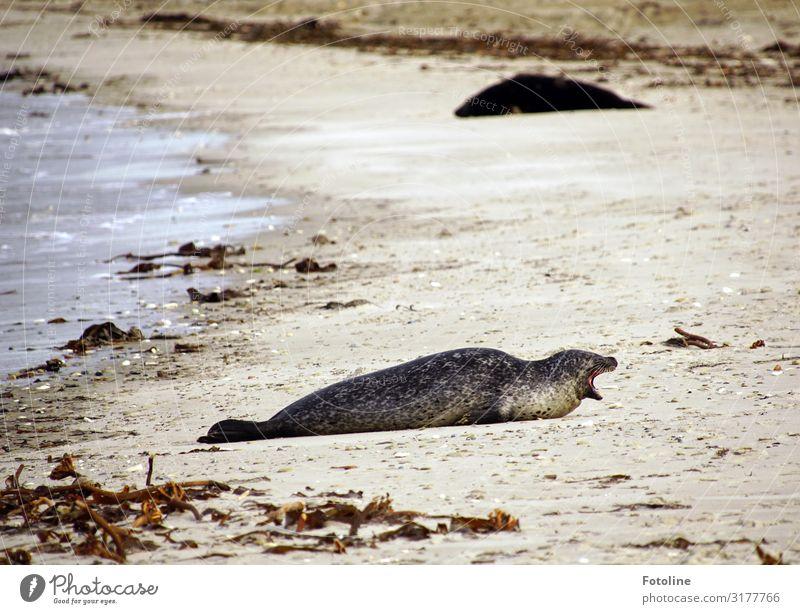 Muuuuaaaaaahhhhh! Environment Nature Landscape Animal Elements Earth Sand Water Coast Beach North Sea Ocean Island Wild animal Pelt 1 Free Bright Maritime Wet