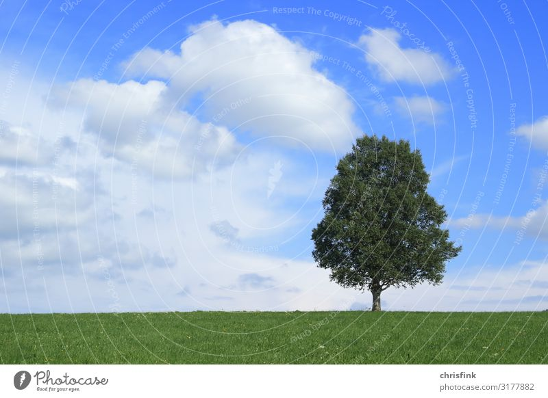 Tree in front of blue sky Environment Nature Landscape Plant Wood Sphere Fragrance Healthy Blue Calm Growth Colour photo Exterior shot Day Evening