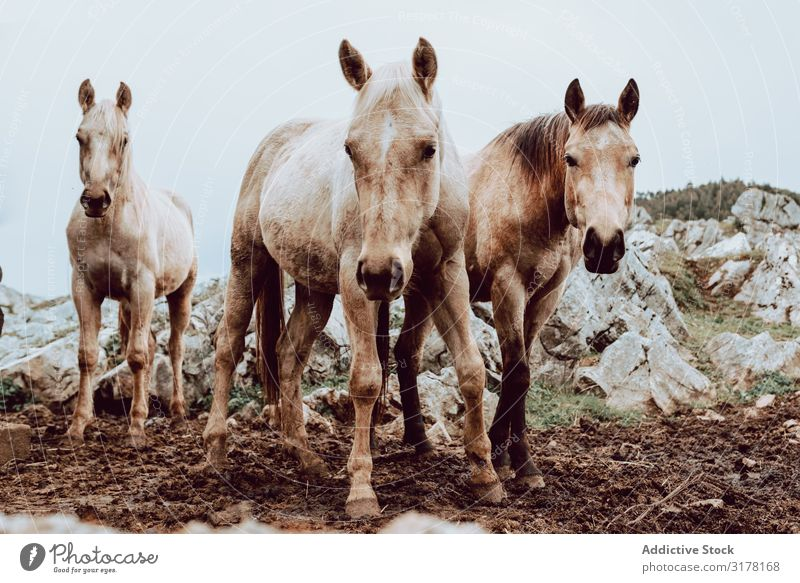 Horses pasturing on meadow Meadow Winter Field Herd Grass Mountain Beautiful Animal Nature Dry Farm Mammal equine equestrian stallion Seasons mare Freedom Hill
