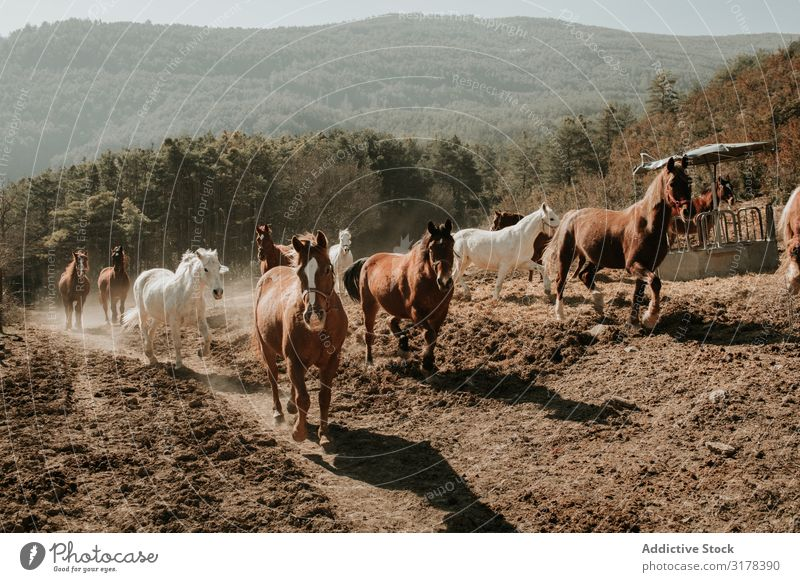 Herd of horses in countryside Horse Running Landscape Street Sunbeam Day equine Mammal Animal stallion mare Domestic Freedom Recklessness Dirty Movement Speed