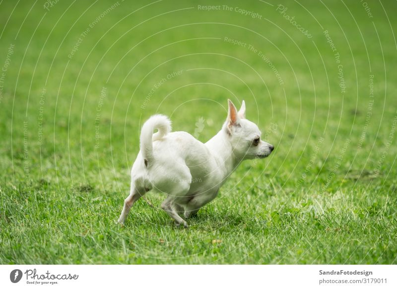 A little white chihuahua is playing outside Joy Summer Garden Sports Nature Grass Park Meadow Animal Dog 1 Walking Running Jump mammal pet sweet young small