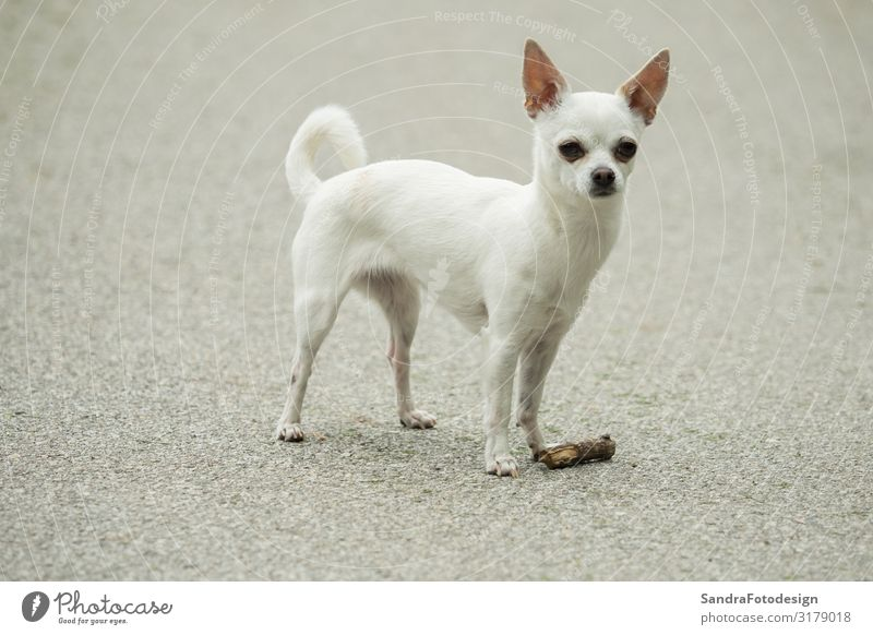A little white chihuahua is playing outside Joy Summer Sports Hiking Nature Park Animal Dog 1 Walking mammal pet sweet young small purebred adorable puppy happy