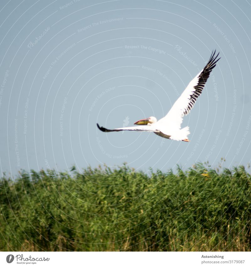 pelican Environment Nature Landscape Plant Sky Summer Grass Bushes Romania Animal Wild animal Bird Animal face Wing Pelt Beak Feather Pelican Legs Head 1 Flying