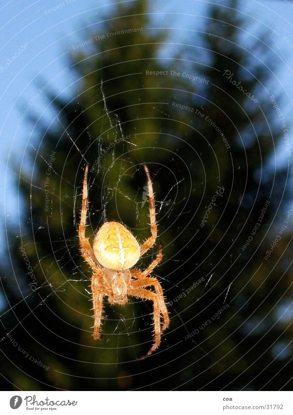spider Spider Fir tree Green Beige Animal Spider's web Blur Blue Legs Net Sky Back