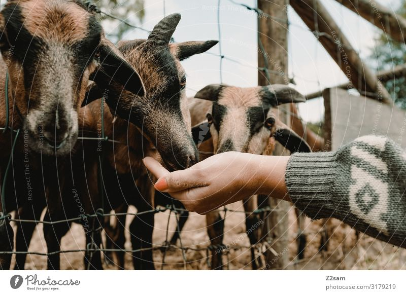 Feeding Leisure and hobbies Trip Young woman Youth (Young adults) Hand Environment Nature Autumn Park Sweater Farm animal Goats Group of animals Herd To feed
