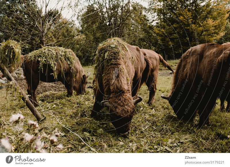 Buffalo Environment Nature Landscape Tree Meadow Hay Feed Bison Group of animals Herd To feed Feeding Together Natural Brown Green Happy Contentment To enjoy