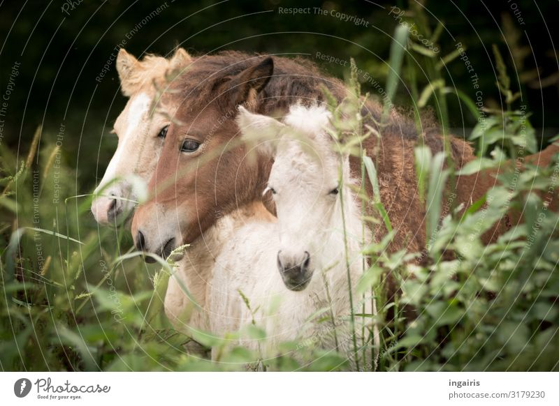 snuggle Nature Landscape Grass Bushes Pasture Animal Farm animal Horse Iceland Pony Foal 3 Group of animals Baby animal Touch To enjoy Friendliness Together