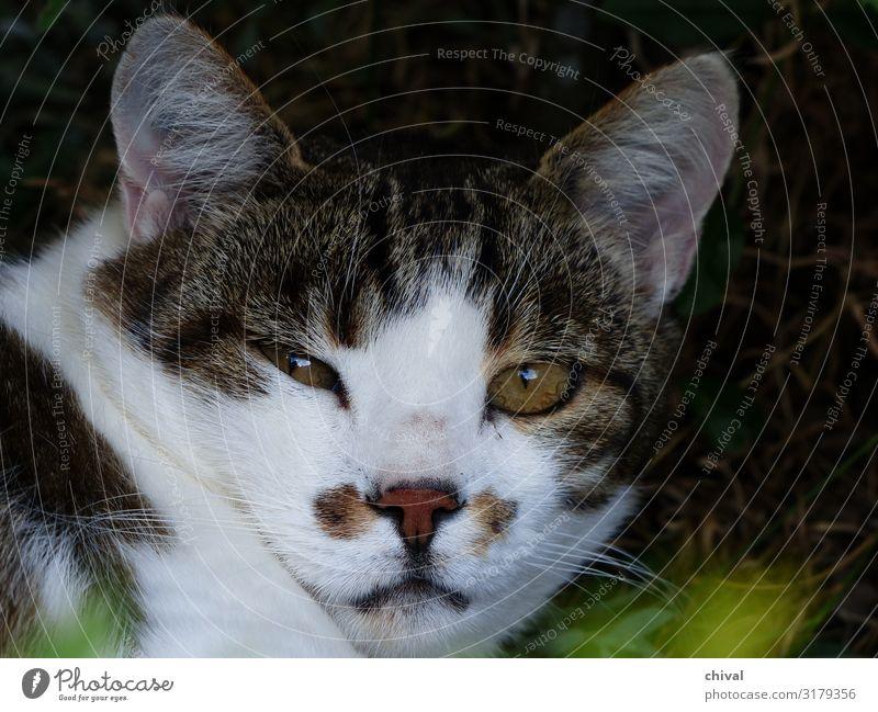 Cat White Animal Brown Gray Pet Animal face