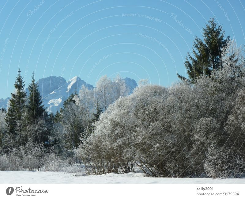winter forest... Cloudless sky Winter Ice Frost Tree Forest Alps Mountain Esthetic Cold Loneliness Serene Nature Snow Hoar frost White Winter forest