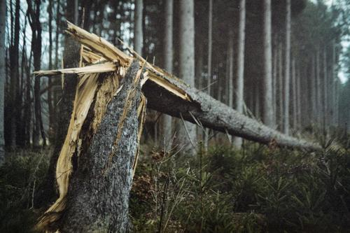 tree breakage Environment Nature Plant Autumn Storm Gale Tree Forest Threat Dark Cold Yellow Gray Storm damage Tree stump Spruce Colour photo Exterior shot