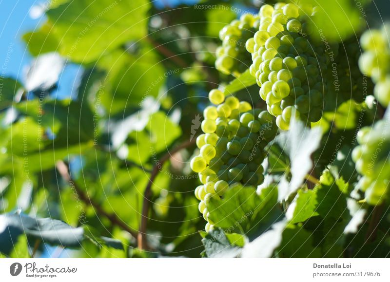 Grapes close up in the vineyard Food Fruit Nutrition Organic produce Italian Food Wine Nature Summer Autumn Plant Leaf Agricultural crop Diet Feeding Green
