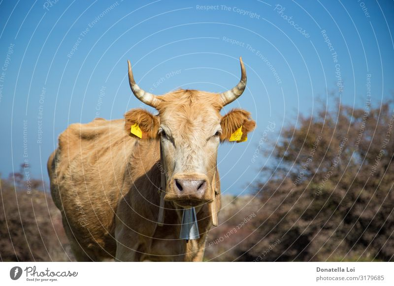 Portrait of grazing cow Summer Nature Plant Animal Pet Farm animal Cow 1 To feed Good Natural Green Blue sky Copy Space Horizontal look at camera spring sunny