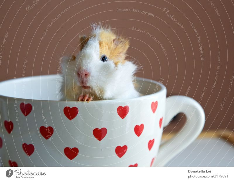 Portrait of guinea pig into the cup Mug Animal Pet 1 Heart Feeding Looking Small Funny Sympathy Abyssinian Copy Space Guinea pig indoor inside little pet