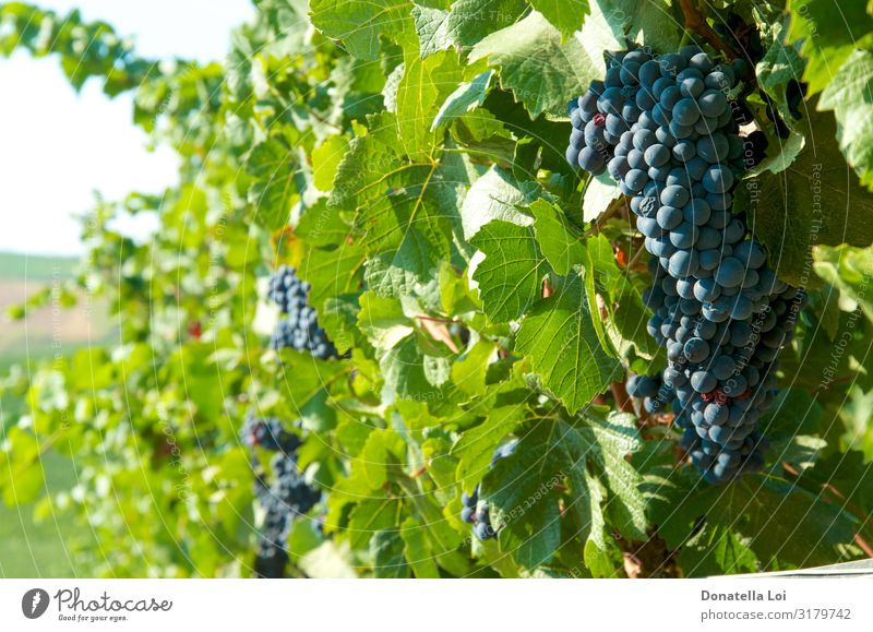 Black grapes on the vineyards Food Fruit Nutrition Eating Wine Summer Agriculture Forestry Environment Nature Autumn Beautiful weather Leaf Agricultural crop