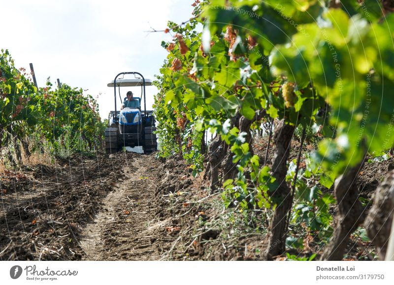 Tractor in the vineyard Food Fruit Italian Food Wine Lifestyle Summer Work and employment Human being 1 Nature Plant Sunlight Autumn Leaf Agricultural crop