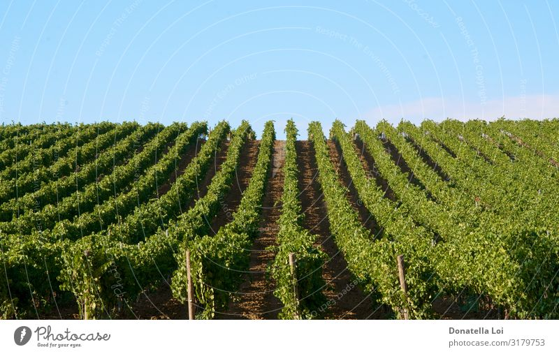 Vineyards landscape in Sicily Summer Nature Landscape Agricultural crop Field Vacation & Travel Leisure and hobbies Rural Colour photo Exterior shot