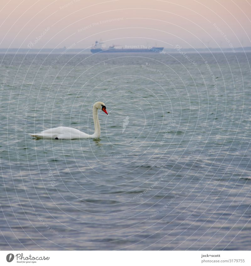 swan + ship Water Sky Horizon Winter Climate change Beautiful weather Boddenlandscape NP Rügen Traffic infrastructure Navigation Container ship Wild animal Swan