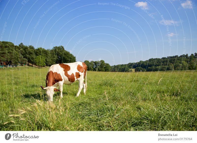 One cow grazing Eating Milk Summer Nature Animal Sky Grass Field Pet Farm animal Cow 1 To feed Stand Blue Brown Green Loneliness Domestic fields solitary