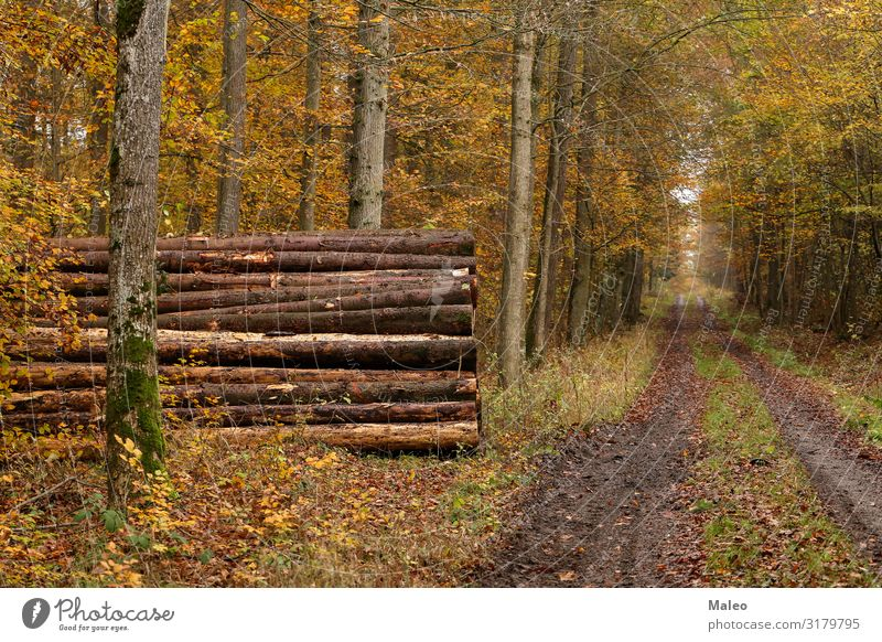 Forest trail in autumn Tree Wood Industry sawn Logging Fallen Pine Ecological Brown Destruction Environment Firewood Nature Tree trunk Tree bark Cut down Saw
