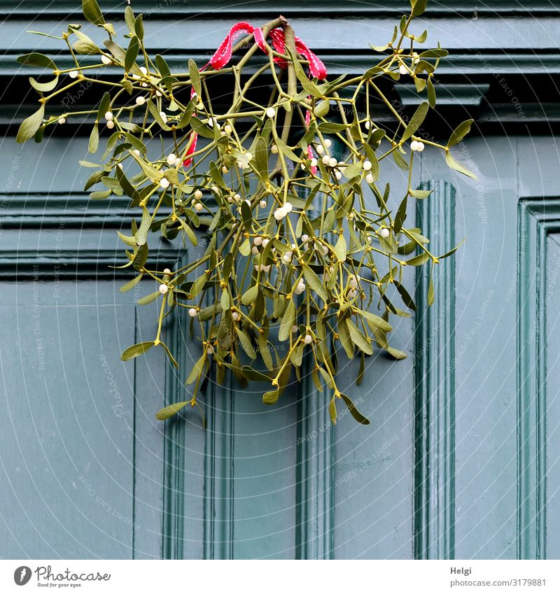 green mistletoe twigs with white berries and red ribbon hang as decoration on an old wooden door Christmas & Advent Plant Winter Leaf Blossom Mistletoe Twig