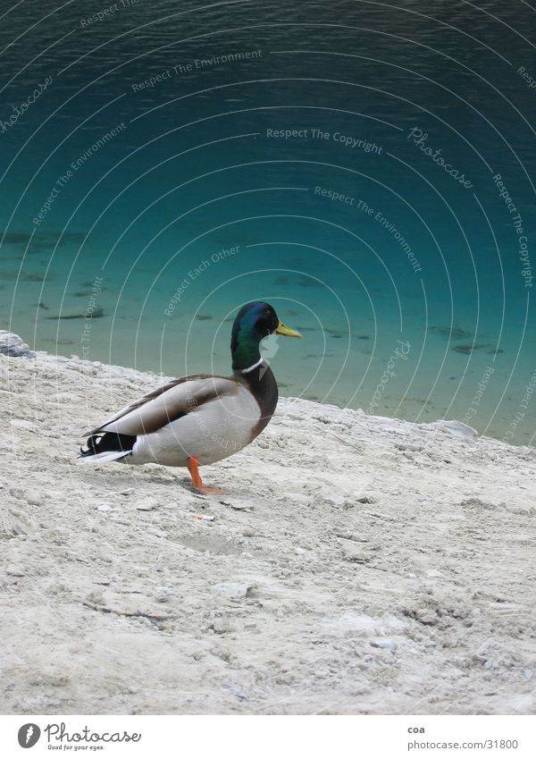 Water Green Animal Gray Stone Sand Bird Coast Feather Duck Beak Drake