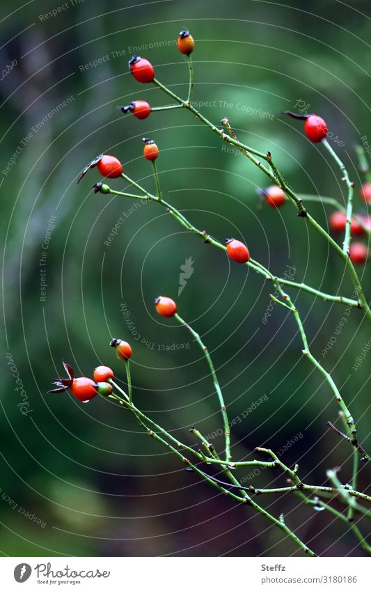 Nature Plant Beautiful Green Red Healthy Autumn Environment Natural Garden Transience Change Many Berries Autumnal November
