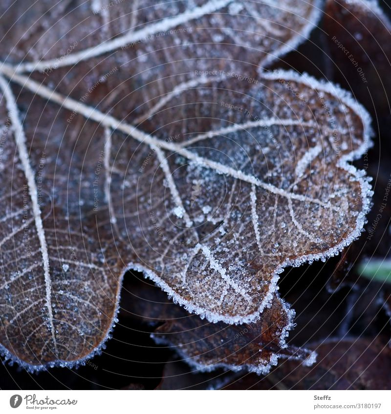 Oak leaf caught cold cold snap Cold shock frosty Domestic Nordic cold Hoar frost chill onset of winter ice crystals Frost Freeze Near Brown Winter mood Frozen
