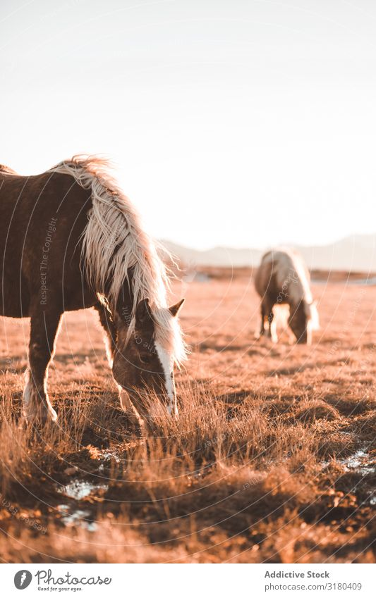 Wild horses pasturing on field Horse Field Meadow Mountain Beautiful Mane Animal Nature Mammal equine equestrian stallion Seasons Dry Grass Freedom Ranch