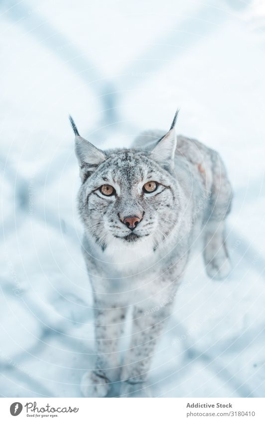 Lynx on snow field behind a grid Snow Winter Dangerous Wild Frost Wood Mountain Park Seasons Animal Mammal Nature wildlife Hunter Beast rare Wild cat furry