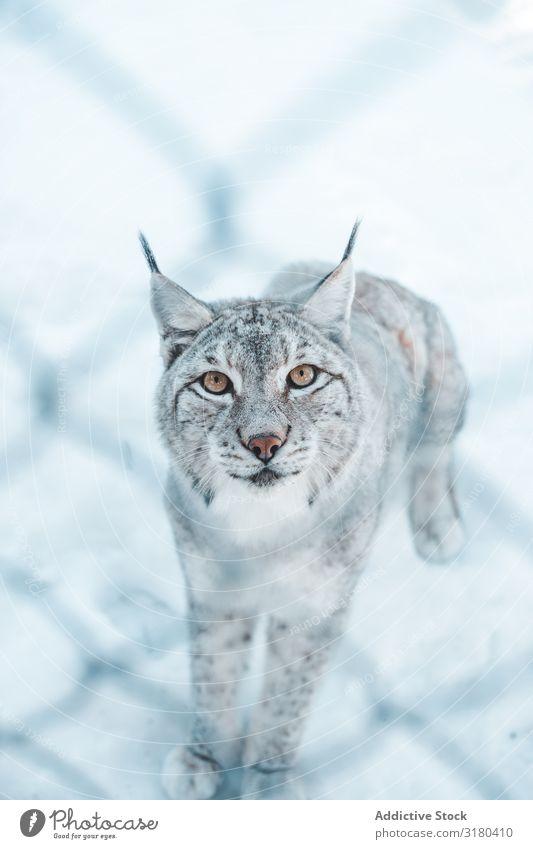 Lynx on snow field behind a grid Snow Winter Dangerous Wild Frost Wood Mountain