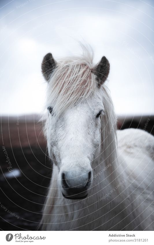 Horses in the mountains in Iceland icelandic Beautiful Animal wildlife Nature Vacation & Travel Exterior shot Wild Portrait photograph Mane Winter Brown