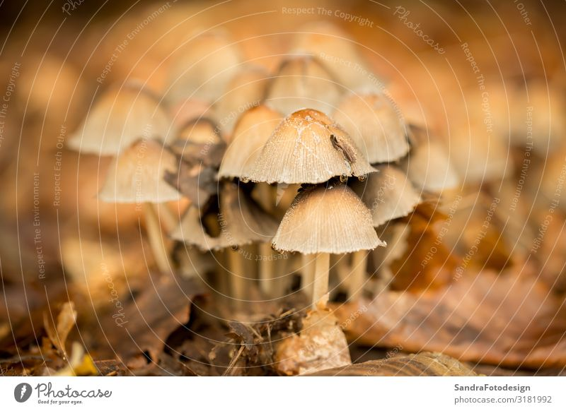 Mushrooms in the forest Relaxation Nature Plant Earth Forest Delicious Brown autumn folio mushroom ground green season case red Background picture woods yard