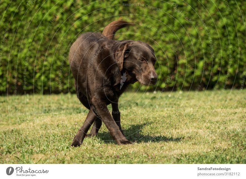 An old brown Labrador Retriever in the garden Summer Garden Sports Family & Relations Nature Park Animal Dog 1 Feeding Playing Cuddly Smart Brown