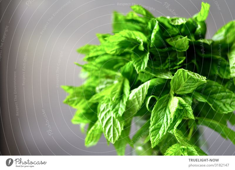 Peppermint: Fresh green on grey Food Herbs and spices Mint Nutrition Organic produce Vegetarian diet Slow food Healthy Healthy Eating Fitness Wellness Life
