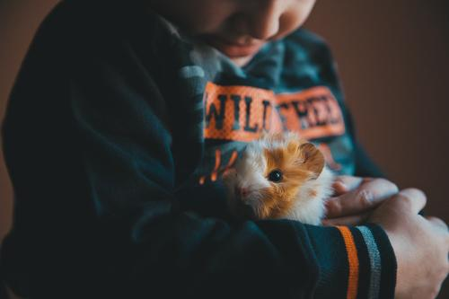 Little guinea pig in the hands of the child Child Human being Hand Animal Joy Happy Boy (child) Small Together Friendship Smiling Infancy Happiness Gift Cute