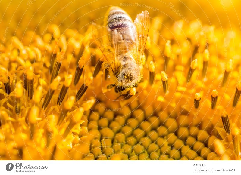 Honey bee covered with yellow pollen collecting sunflower nectar Summer Environment Nature Climate Climate change Plant Garden Meadow Field Animal Farm animal