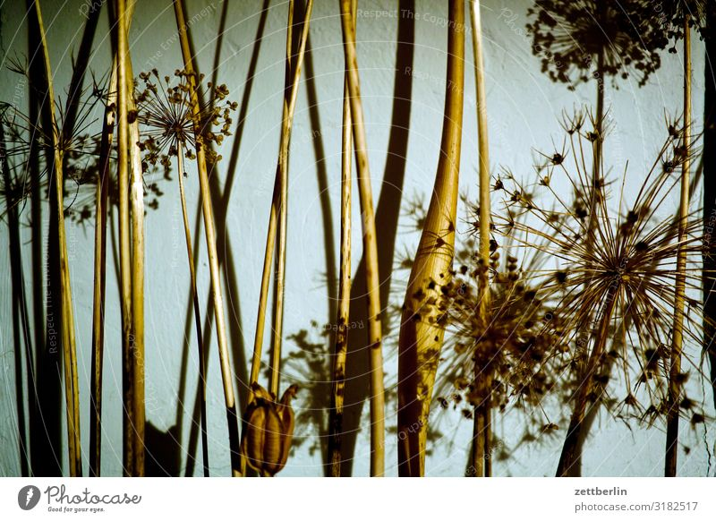 dried flowers Flower Blossom Garden Grass Deserted Nature Plant Bushes Copy Space Depth of field Twig Apiaceae Paper Daisy Asparagus Structures and shapes