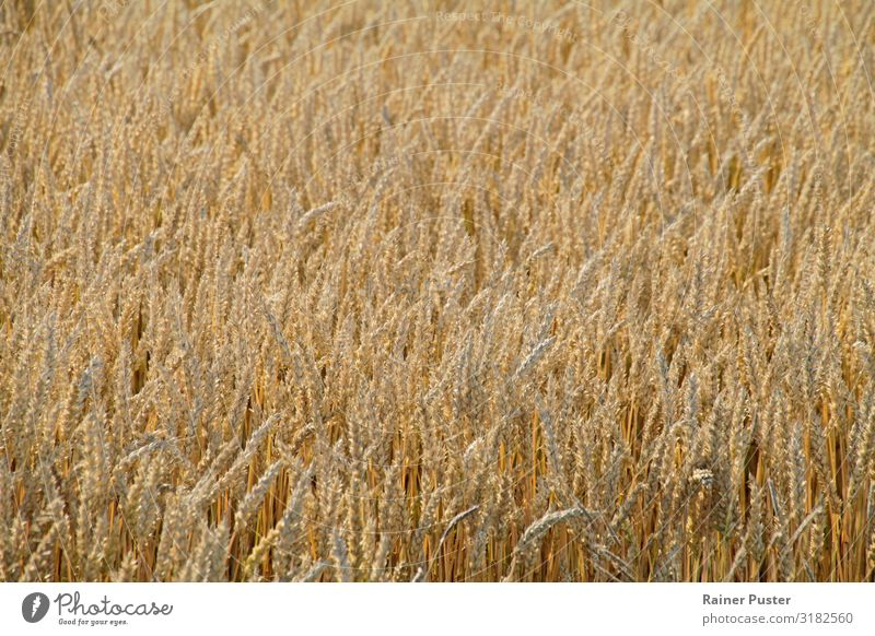 Cornfield in the sun Food Grain Nutrition Organic produce Vegetarian diet Thanksgiving Agriculture Forestry Sun Climate change Grain field Field Yellow Gold