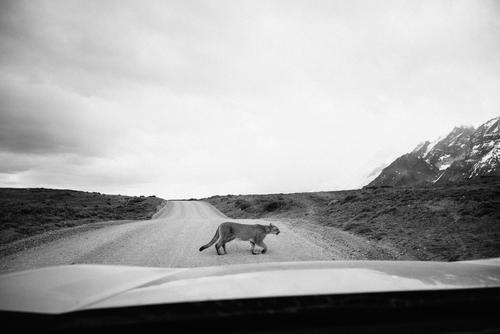 cougar Nature Animal Wild animal Puma 1 Adventure Chile South America Patagonia Supple Adventurer Elegant Car Windscreen Street Black & white photo