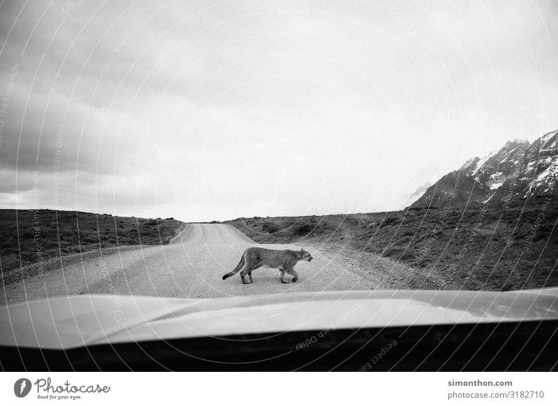 Nature Animal Street Car Elegant Wild animal Adventure Chile South America Patagonia Windscreen Adventurer Supple Puma