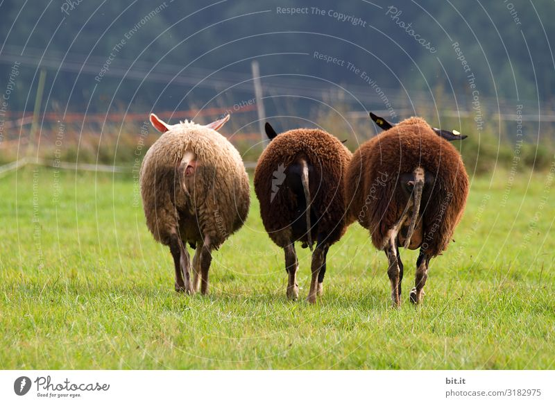 Dreiklang l Two black sheep. Sheep Flock Willow tree Meadow Animal Nature Herd Farm animal Grass Landscape Group of animals Wool green Environment To feed Pelt